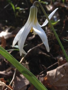 Erythronium albidum - Milo Pyne