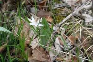 Erythronium albidum - Sunny Fleming