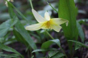 Erythronium rostratum - Ashley B. Morris