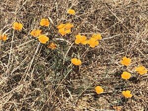 Eschscholzia californica - Milo Pyne