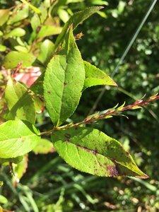 Eubotrys racemosa - Dwayne Estes