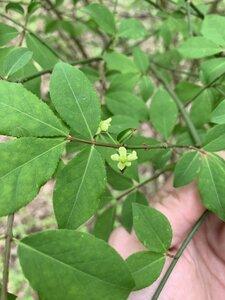 Euonymus alatus - Dwayne Estes