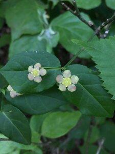 Euonymus americanus - Ashley B. Morris