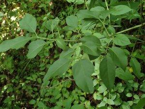 Euonymus atropurpureus var. atropurpureus - Milo Pyne