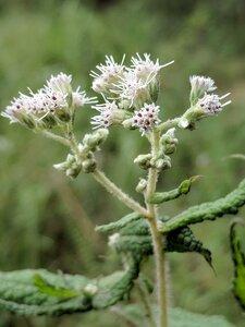 Eupatorium perfoliatum - Alaina Krakowiak