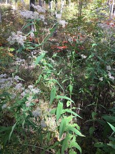 Eupatorium perfoliatum - Joey Shaw