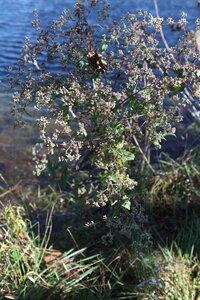 Eupatorium perfoliatum - Milo Pyne