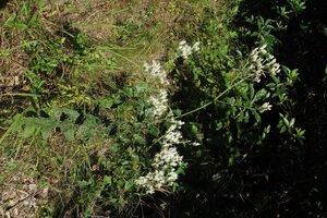 Eupatorium pilosum - Milo Pyne