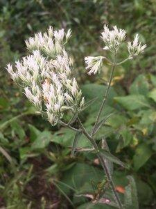 Eupatorium pilosum - Tara Littlefield