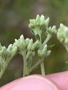 Eupatorium pubescens - Dwayne Estes