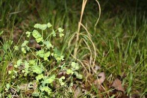 Euphorbia commutata - Dwayne Estes