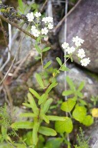 Euphorbia corollata - Dwayne Estes