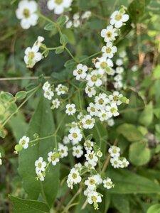 Euphorbia corollata - Shawn Krosnick