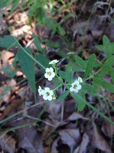 Euphorbia corollata - Sunny Fleming