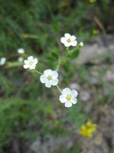 Euphorbia corollata - Tara Littlefield