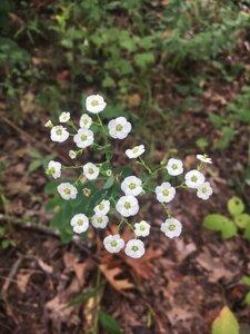 Euphorbia corollata - Theo Witsell