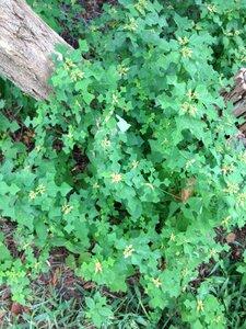 Euphorbia cyathophora - Milo Pyne