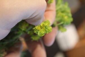 Euphorbia cyparissias - Joey Shaw
