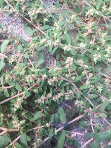 Euphorbia maculata - Theo Witsell