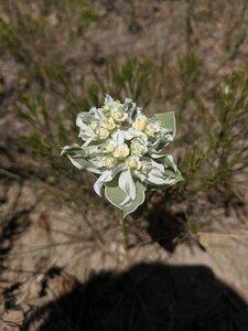 Euphorbia marginata - Alaina Krakowiak