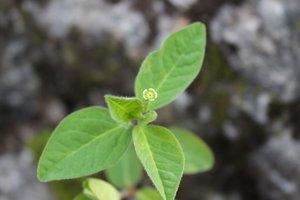 Euphorbia mercurialina - Ashley B. Morris