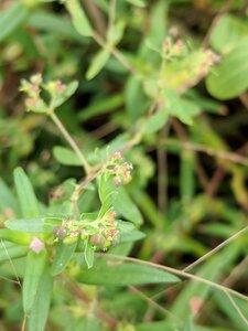Euphorbia nutans - Alaina Krakowiak
