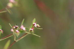 Euphorbia nutans - Ashley B. Morris