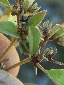 Euphorbia nutans - Joey Shaw