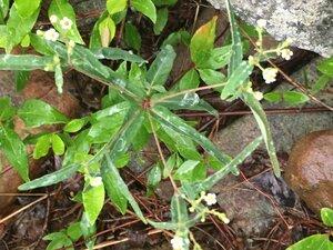 Euphorbia pubentissima - Dwayne Estes