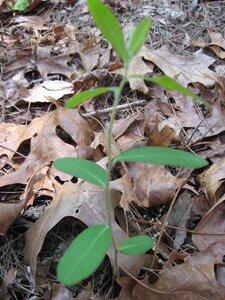 Euphorbia pubentissima - Tara Littlefield