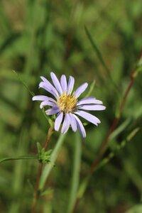 Eurybia hemispherica - Ashley B. Morris