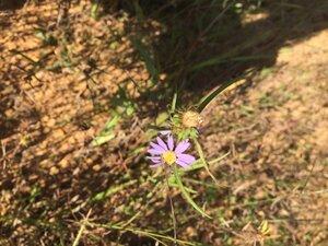 Eurybia hemispherica - Sunny Fleming