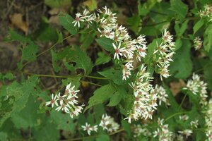 Eurybia macrophylla - Milo Pyne