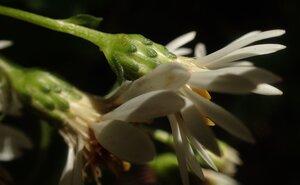 Eurybia saxicastellii - Todd Crabtree