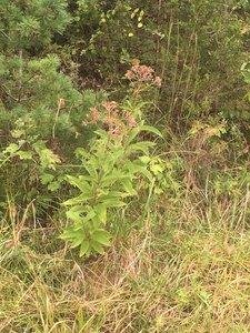 Eutrochium fistulosum - Tara Littlefield