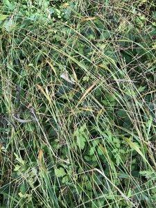 Festuca subverticillata - Milo Pyne