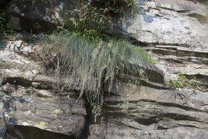 Festuca trachyphylla - Dwayne Estes