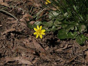 Ficaria verna ssp. calthifolia - Milo Pyne