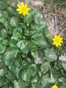 Ficaria verna ssp. calthifolia - Tara Littlefield
