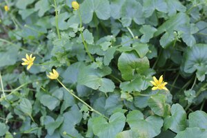 Ficaria verna ssp. calthifolia - Joey Shaw