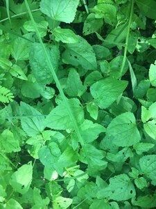 Fleischmannia incarnata - Tara Littlefield