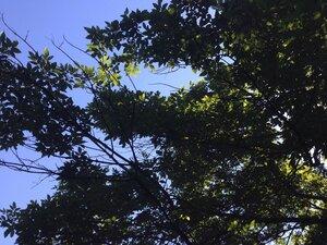 Fraxinus pennsylvanica - Sunny Fleming