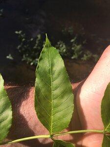 Fraxinus quadrangulata - Dwayne Estes