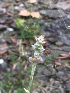 Froelichia gracilis - Theo Witsell