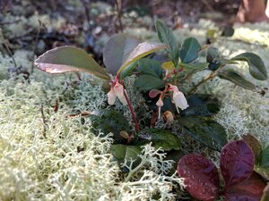 Gaultheria procumbens - Alaina Krakowiak