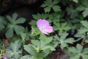 Geranium maculatum - Ashley B. Morris