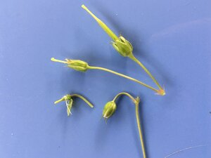 Geranium maculatum - Joey Shaw
