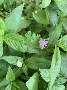 Geranium molle - Shawn Krosnick