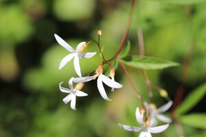 Gillenia trifoliata - Ashley B. Morris