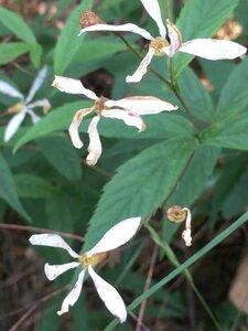 Gillenia trifoliata - Dwayne Estes